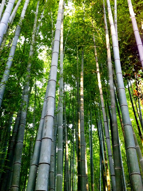 bosque de bambu japon